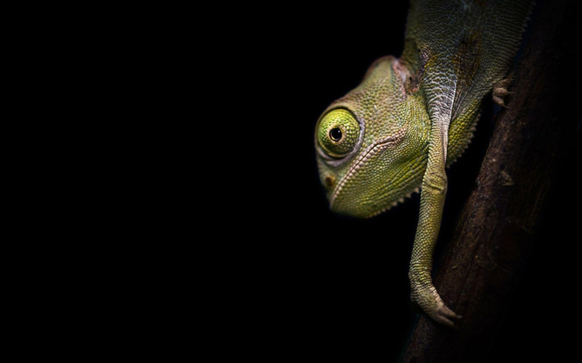 chameleon wallpaper 1920x1200 - photo #2