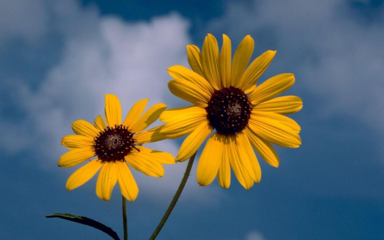 Sunflowers Field HD Desktop Wallpaper for K Ultra HD TV