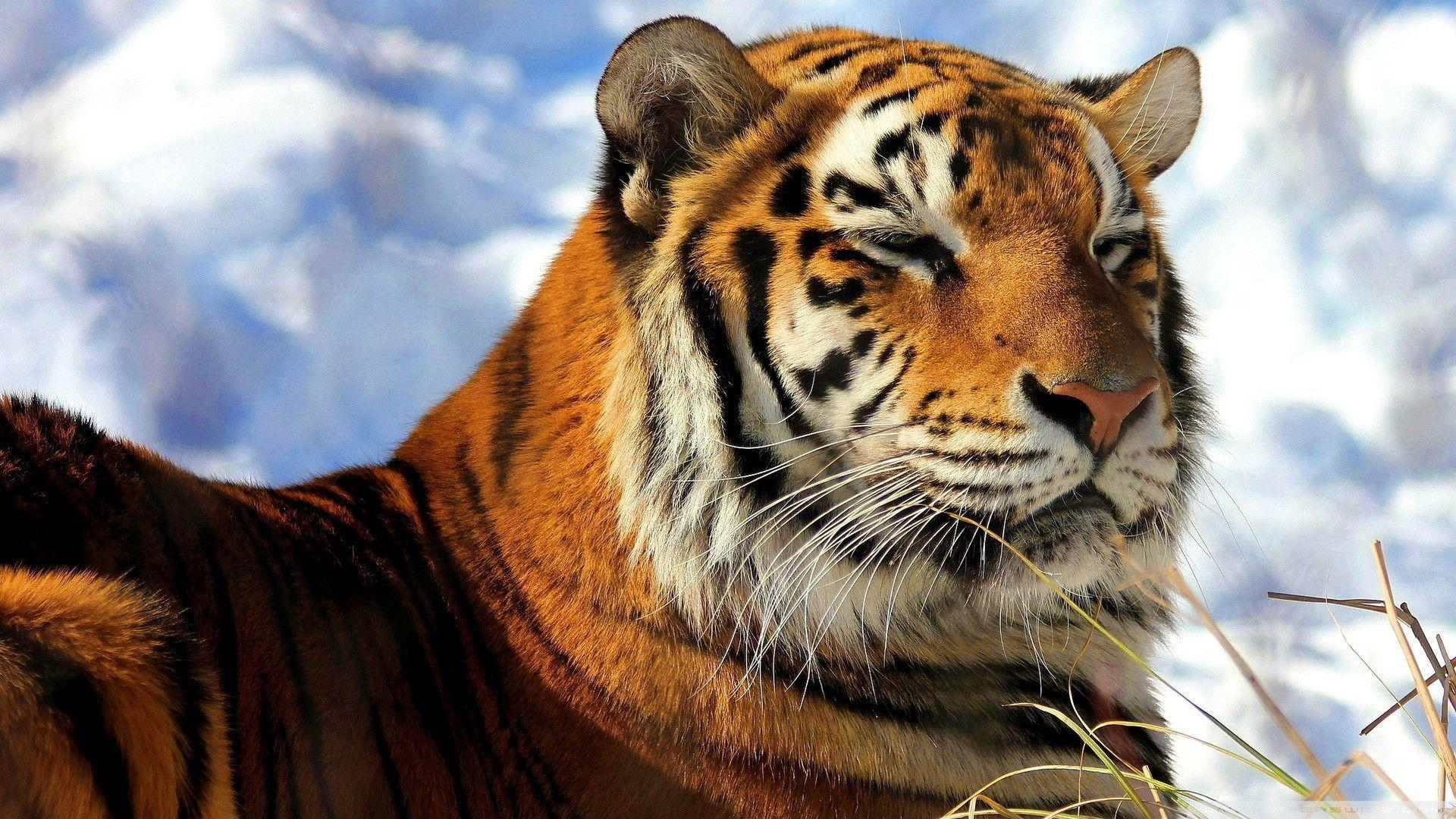 Download Sleepy Amur Tiger Wallpapers 1920x1080