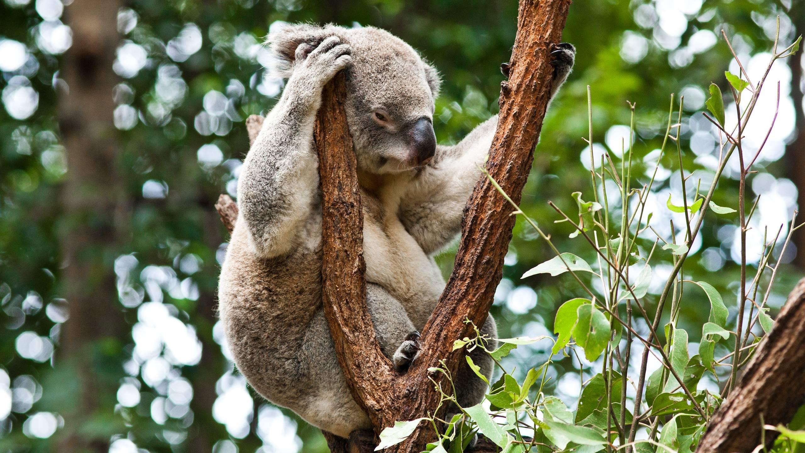 Free Koala Wallpaper 37422 2560x1440 px