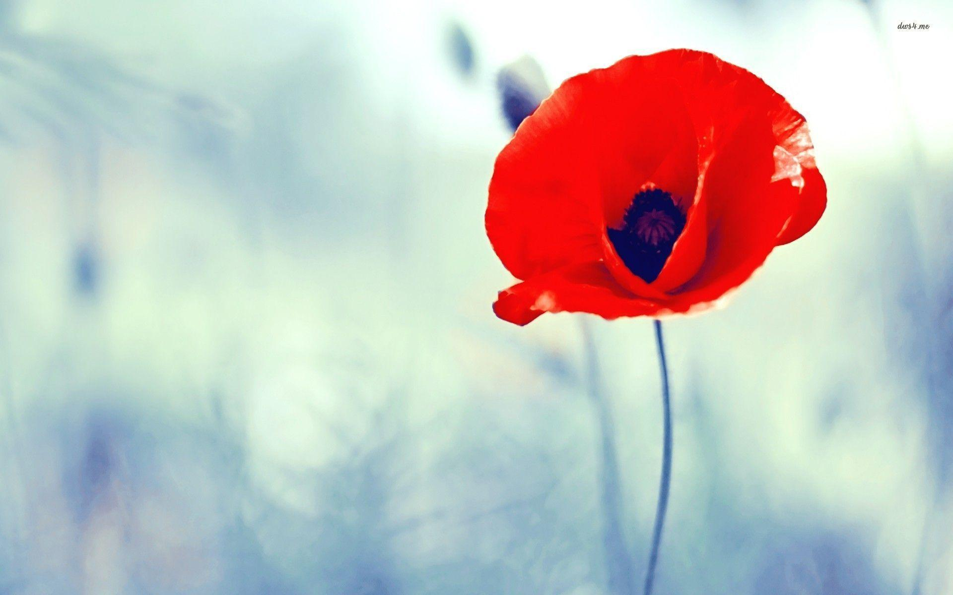 poppy flower wallpapers - wallpaper cave