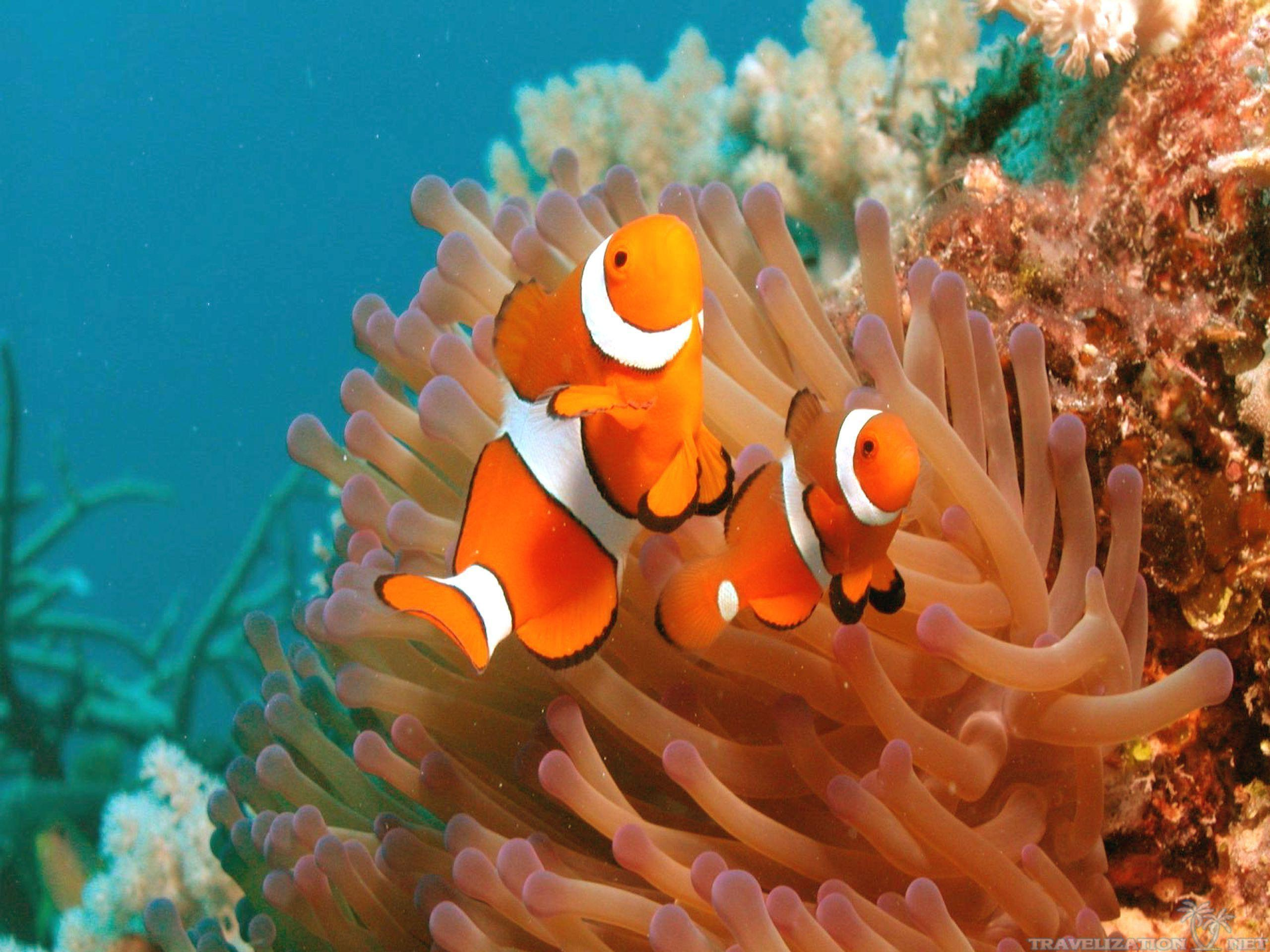 Clownfish Backgrounds - Wallpaper Cave