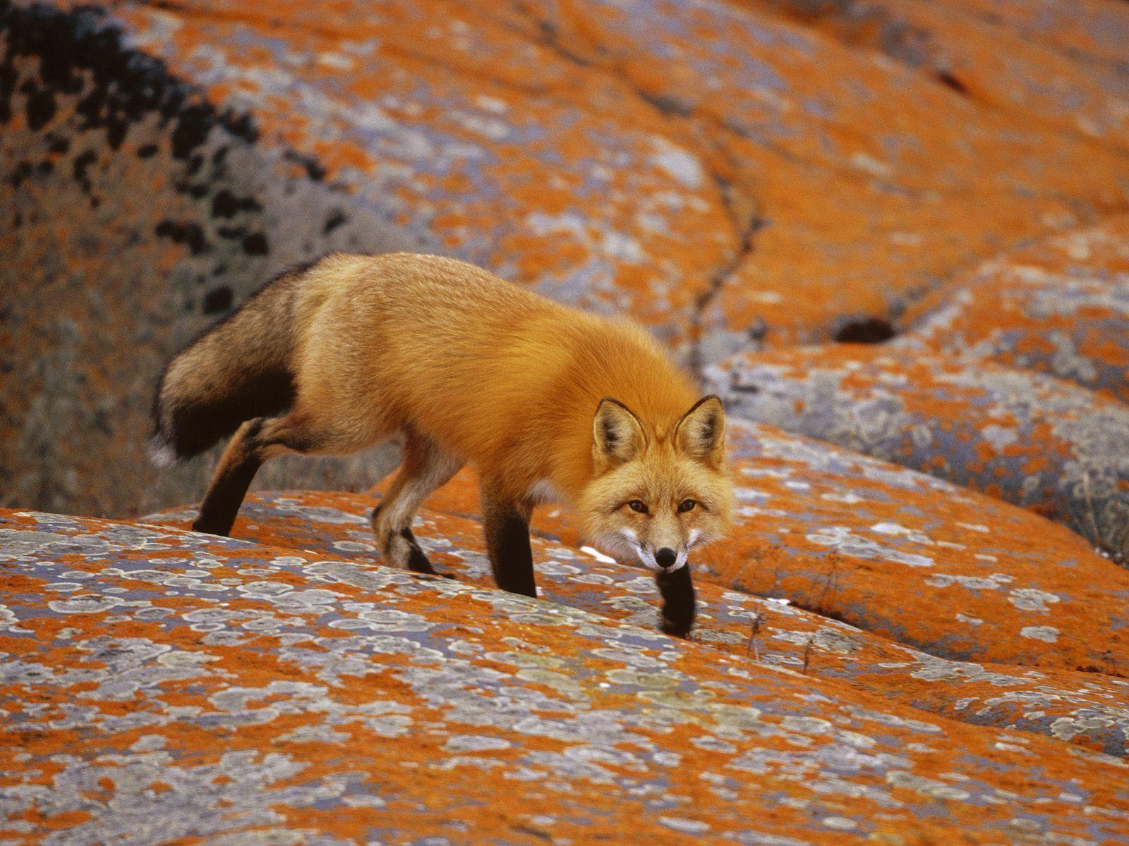 Fox Animal HD Wallpapers | Red Fox Animal Pictures | Cool Wallpapers