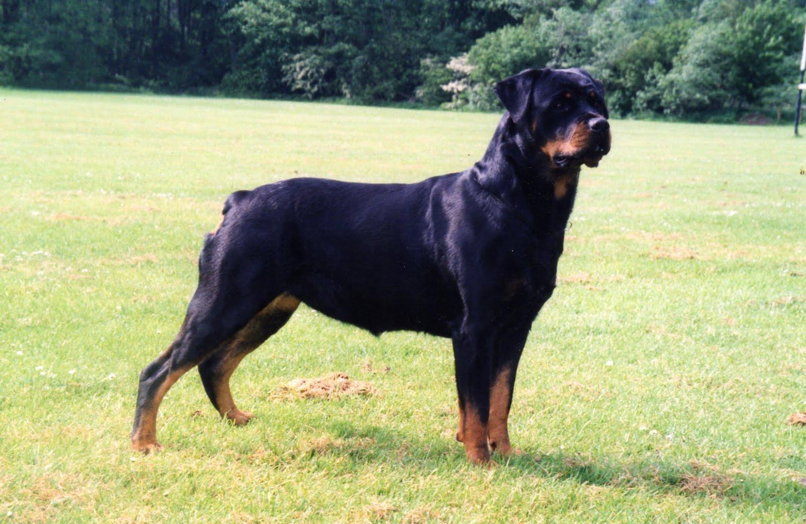Rottweiler Wallpapers, Free Images, Best Dogs Wallpapers