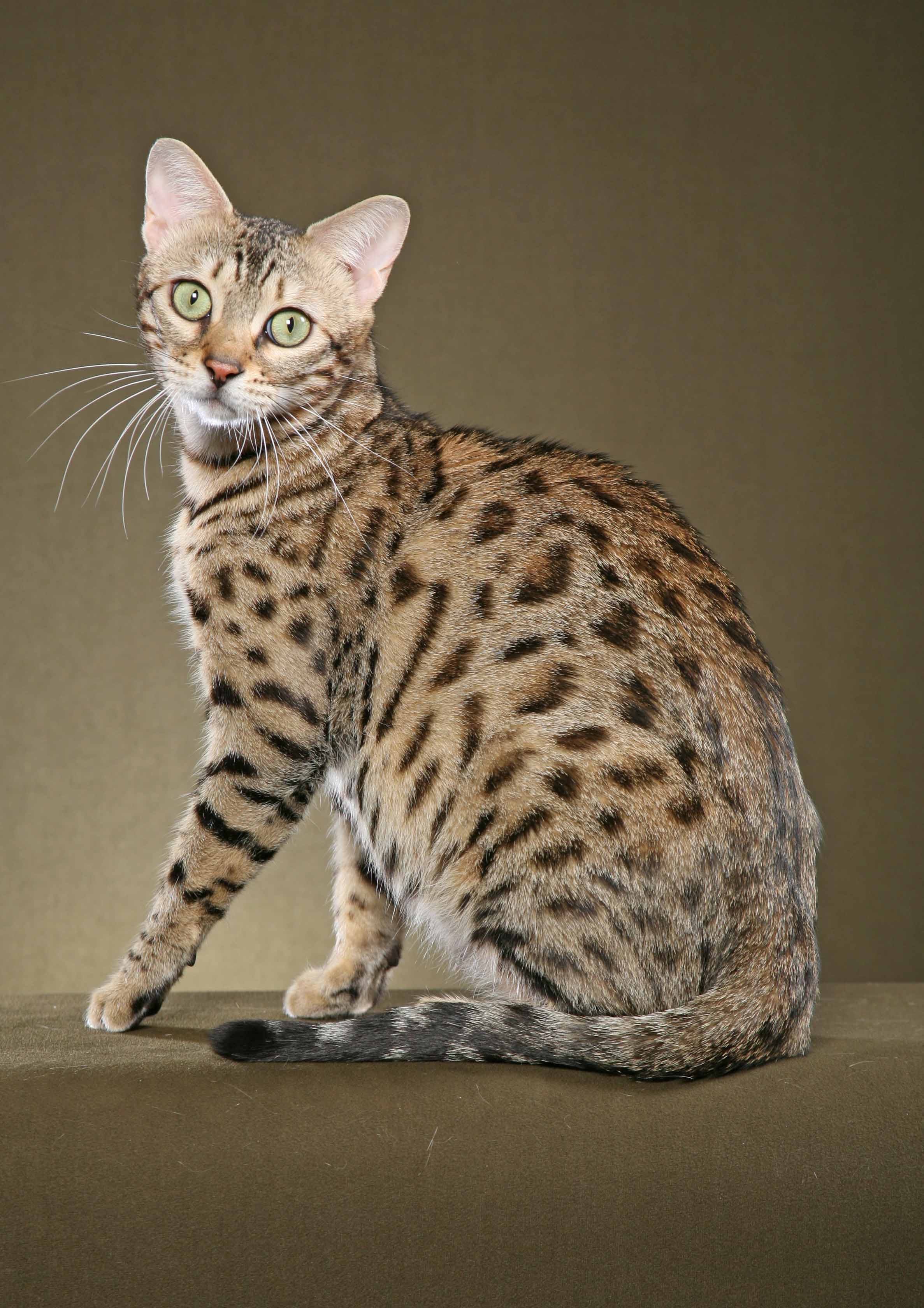 Asian Names For Bengal Cats