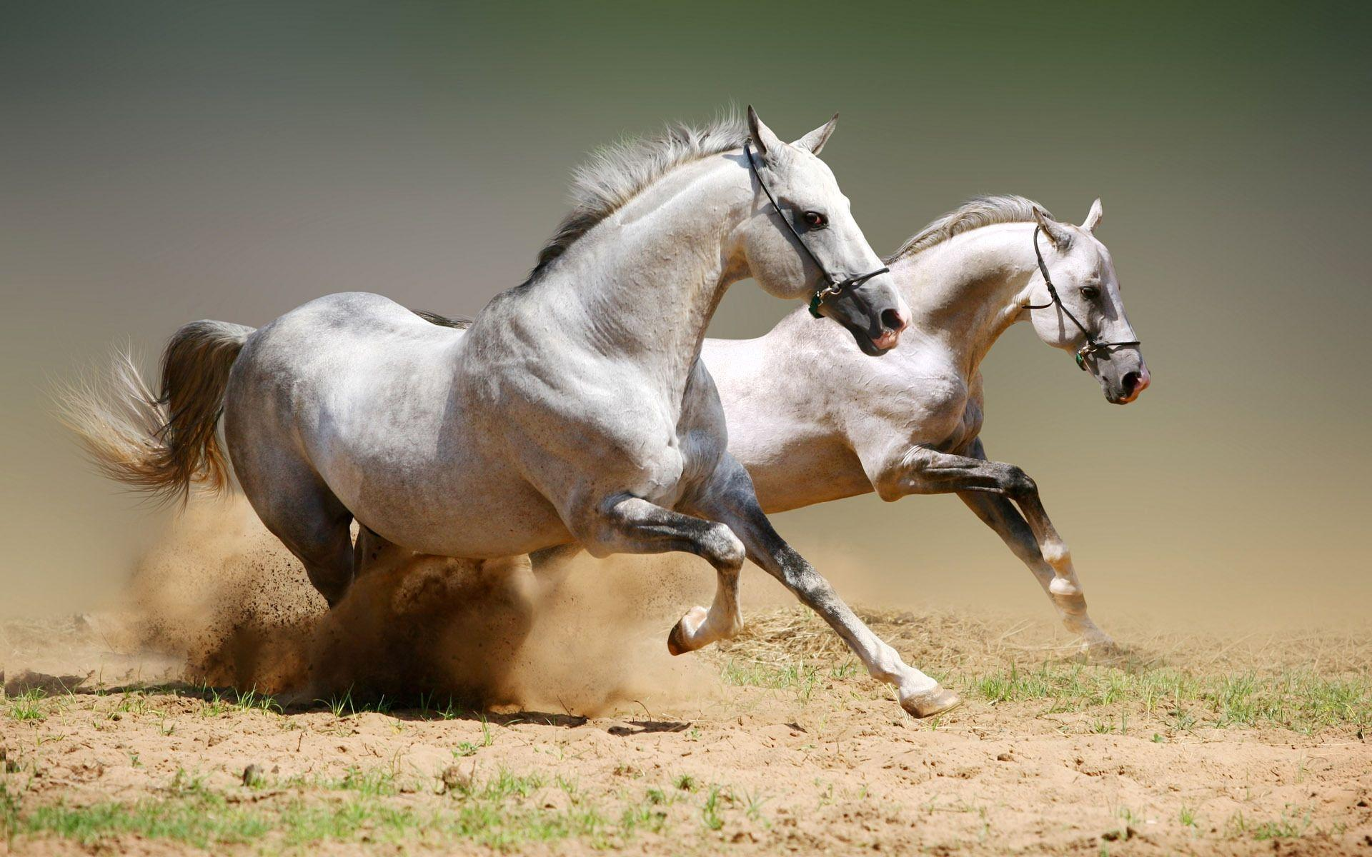 Wallpapers For > Beautiful White Horse Wallpapers