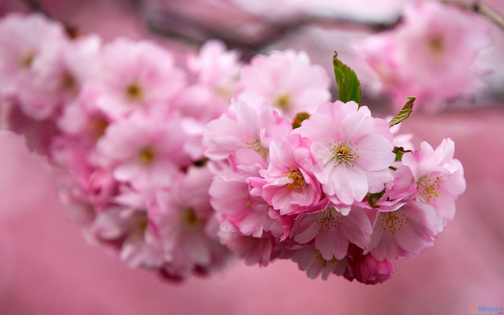 Sakura flower background Japanese images download
