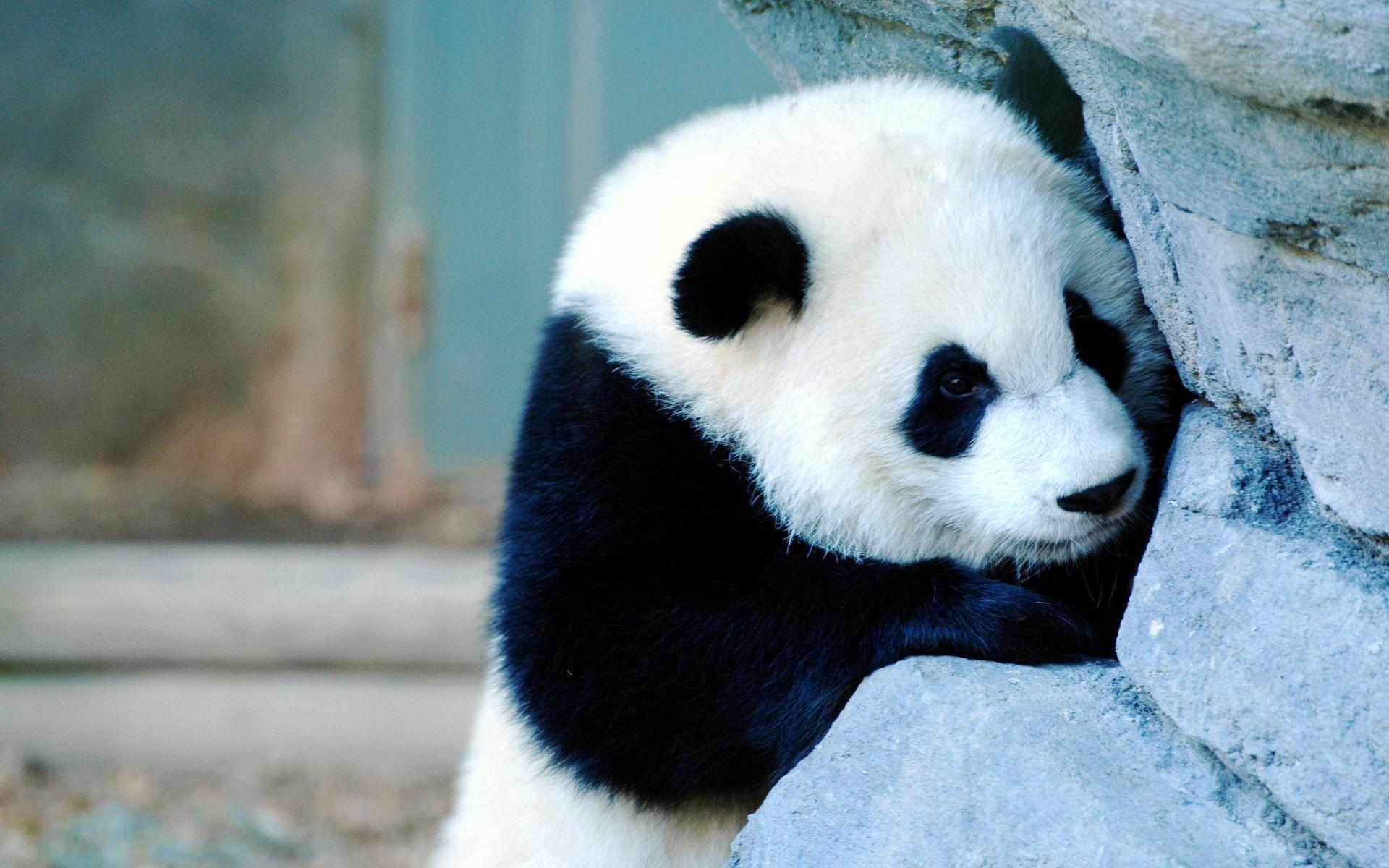 panda pictures hd wallpapers - photo #19