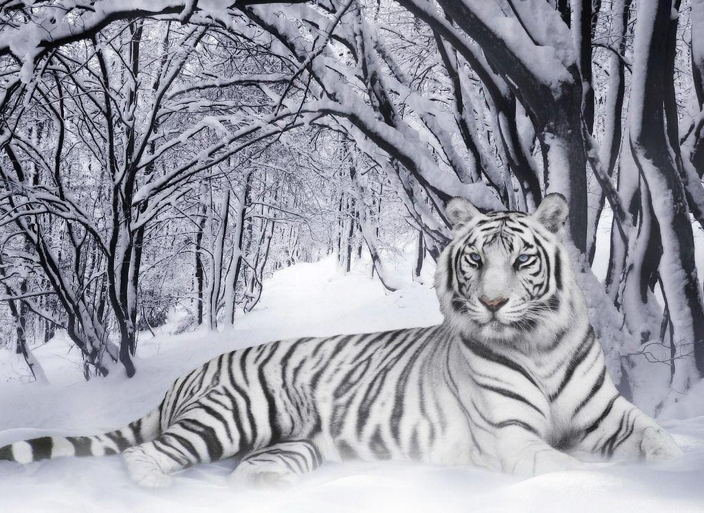 Free White Tiger Wallpapers