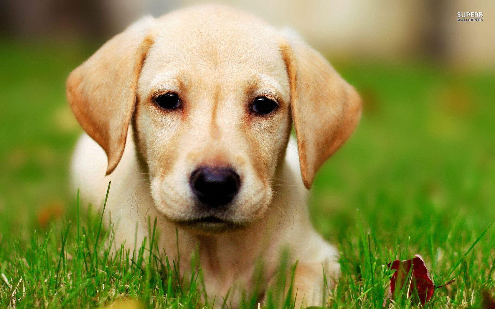 Labrador puppy wallpaper - Animal wallpapers - #