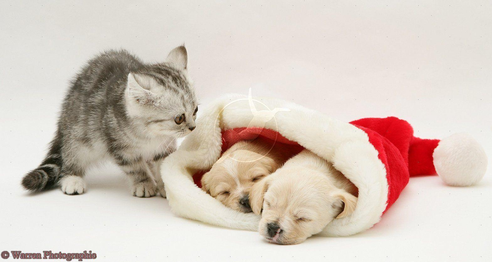 Cute Christmas Kittens And Puppies 10723 Hd Wallpapers in