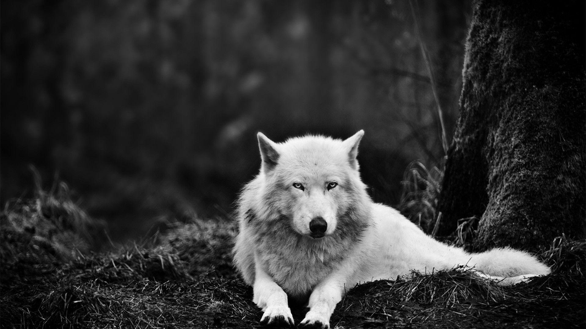 Pin 1920x1080 White Wolf In The Wild Desktop PC And Mac Wallpapers