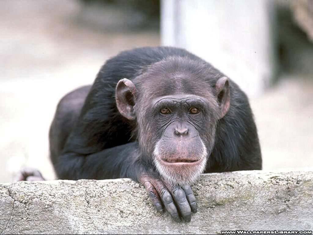 monkey wallpaper - Animal Backgrounds