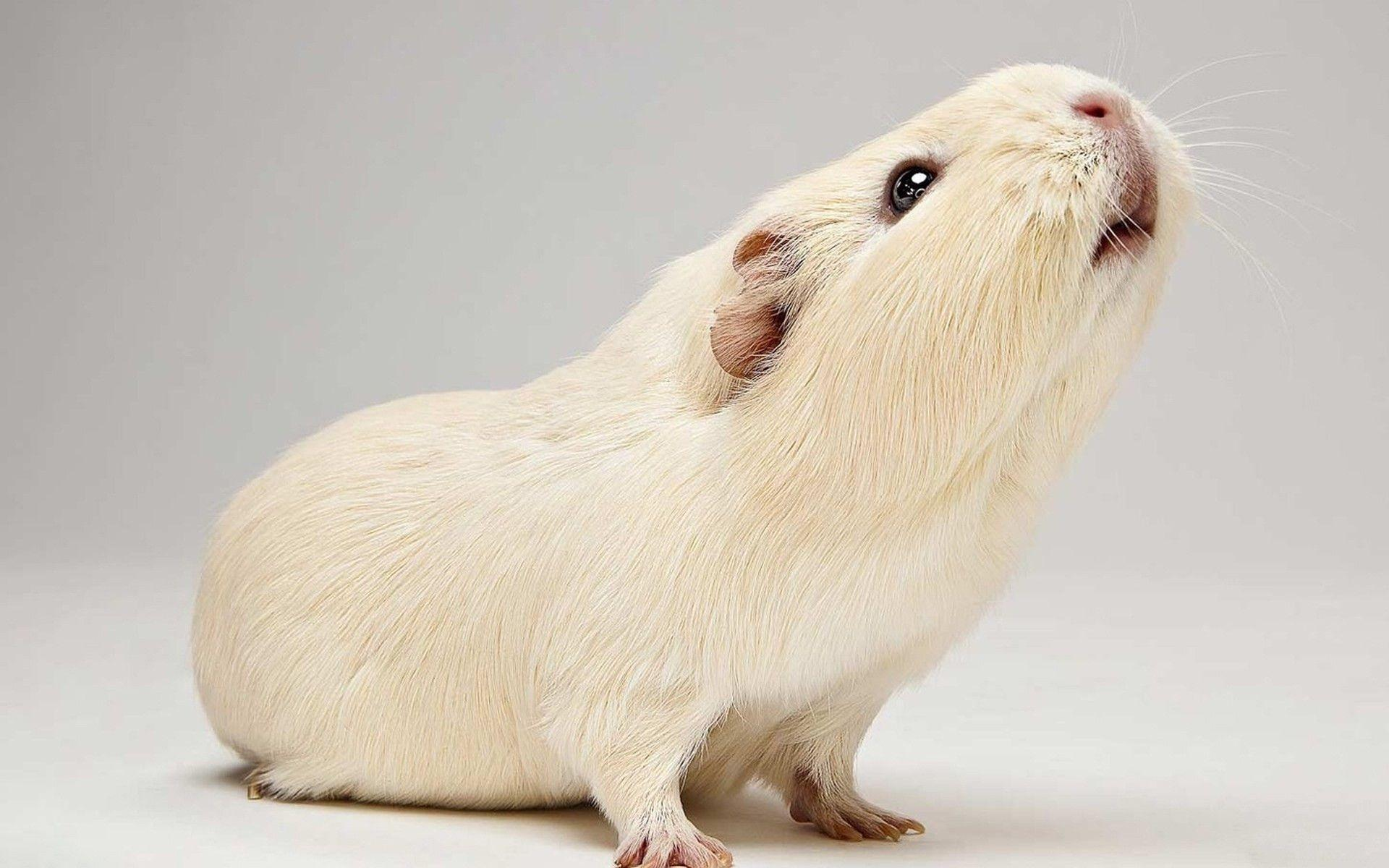 Guinea pig wallpapers wallpaper cave for Free guinea pig stuff
