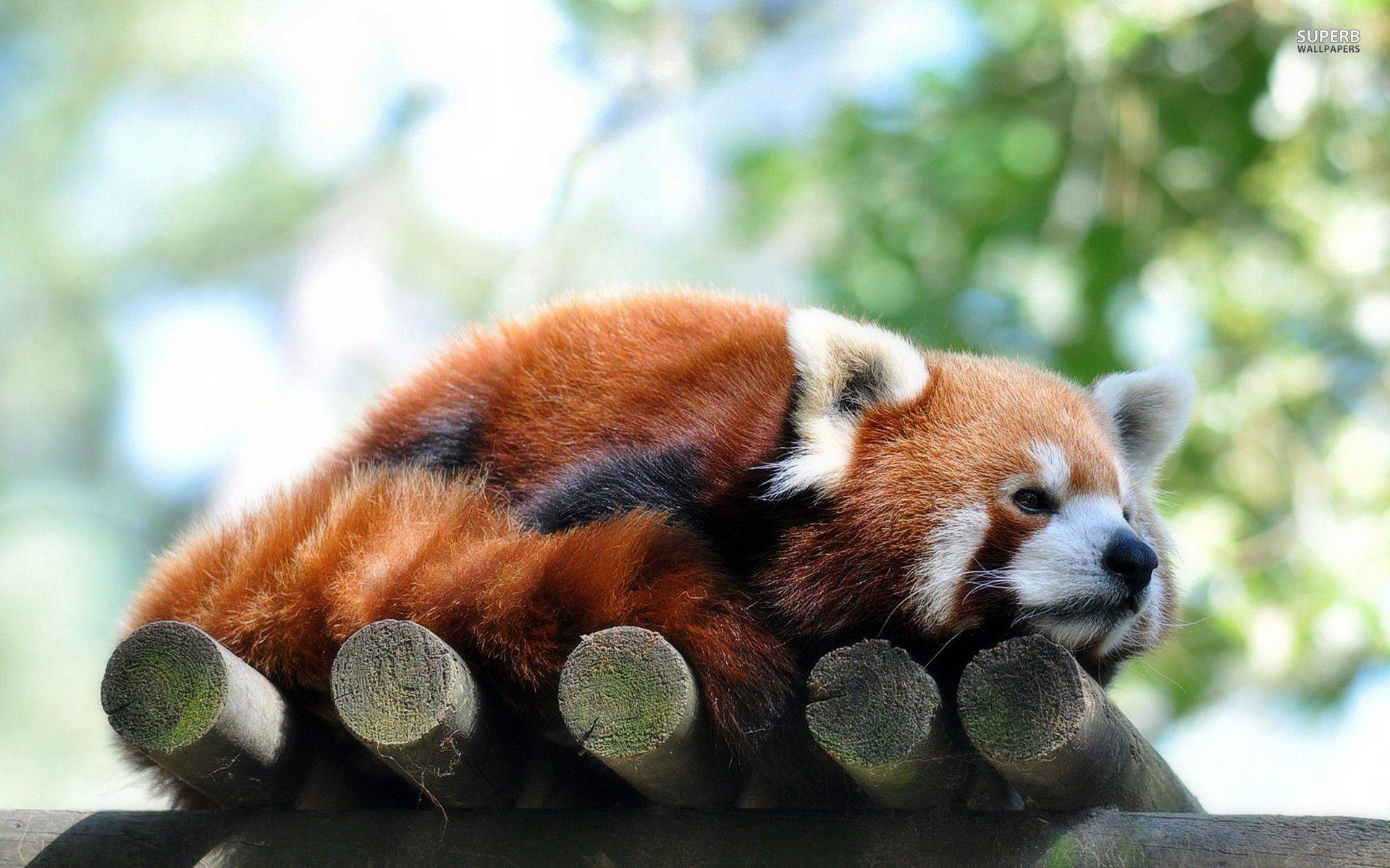 red panda wallpapers wallpaper cave