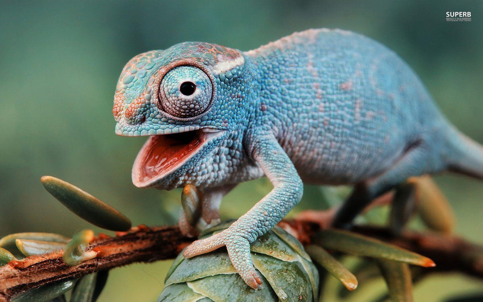 chameleon wallpaper 9661 - photo #13