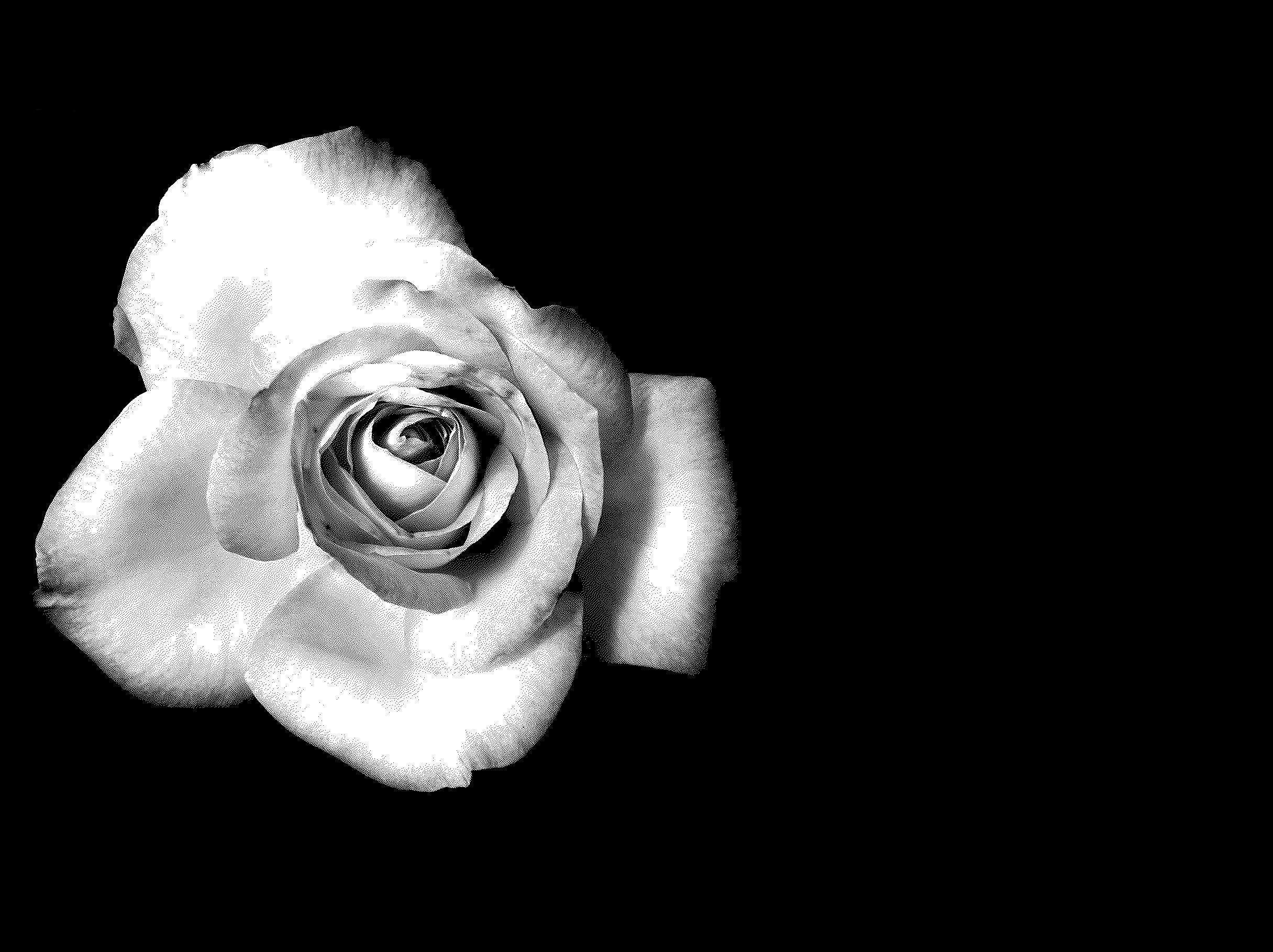 Black and white rose wallpapers wallpaper cave - Black n white designs ...