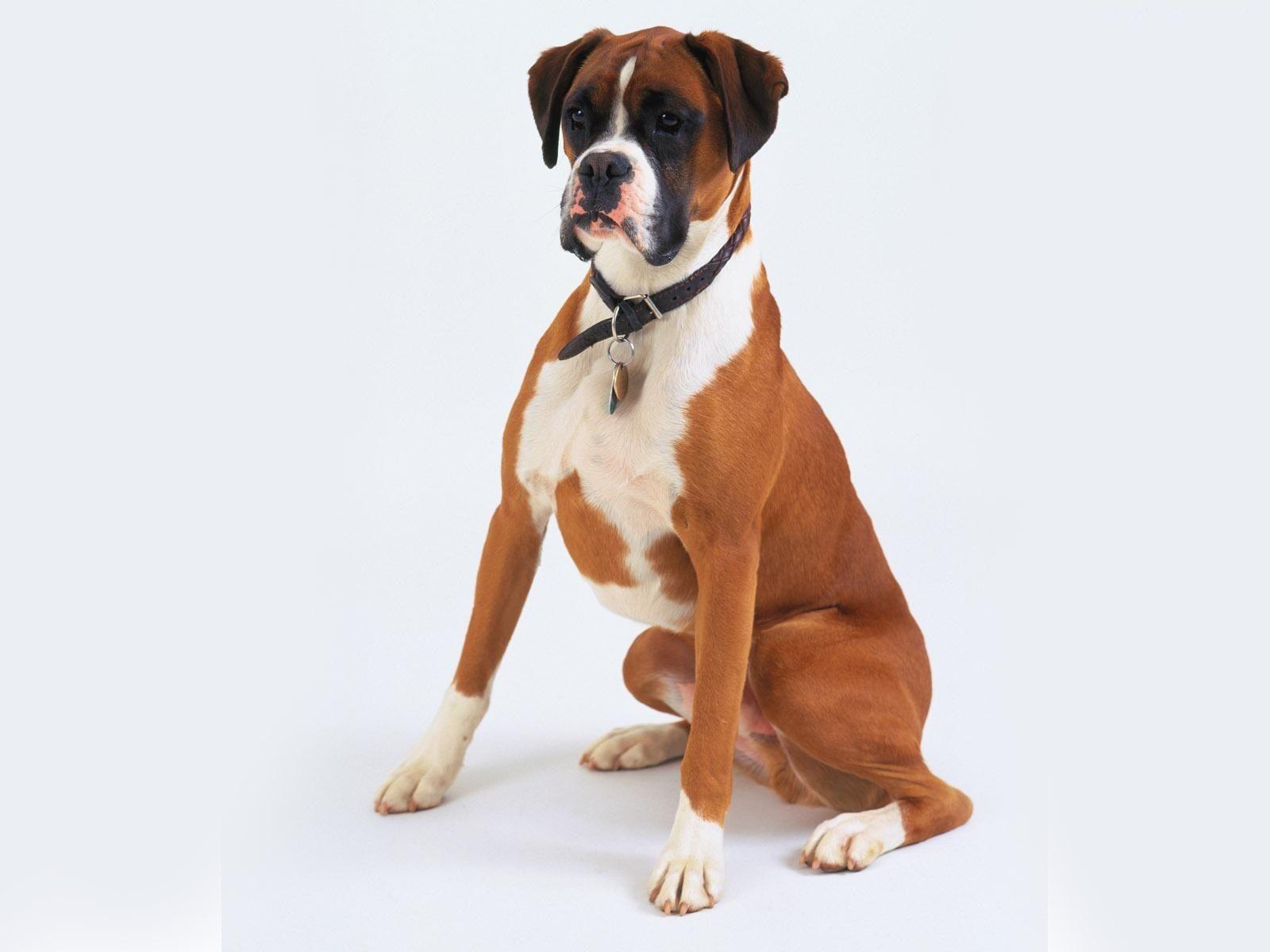 Boxer Puppies Wallpapers - Wallpaper Cave  |Boxer Puppies Wallpaper