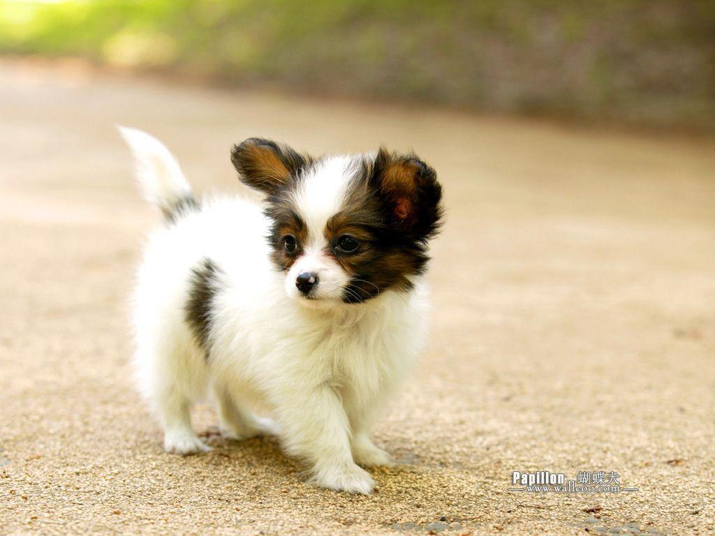 Papillon Puppies   Puppy Dog Gallery