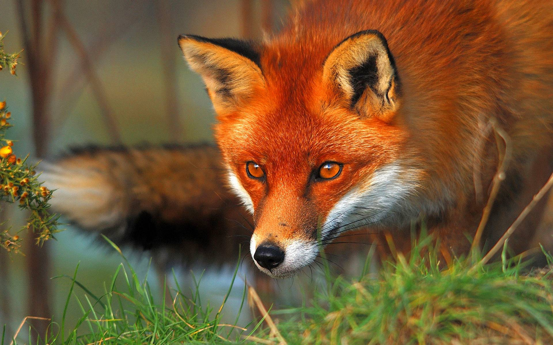 Red fox eyes Wallpapers | Pictures