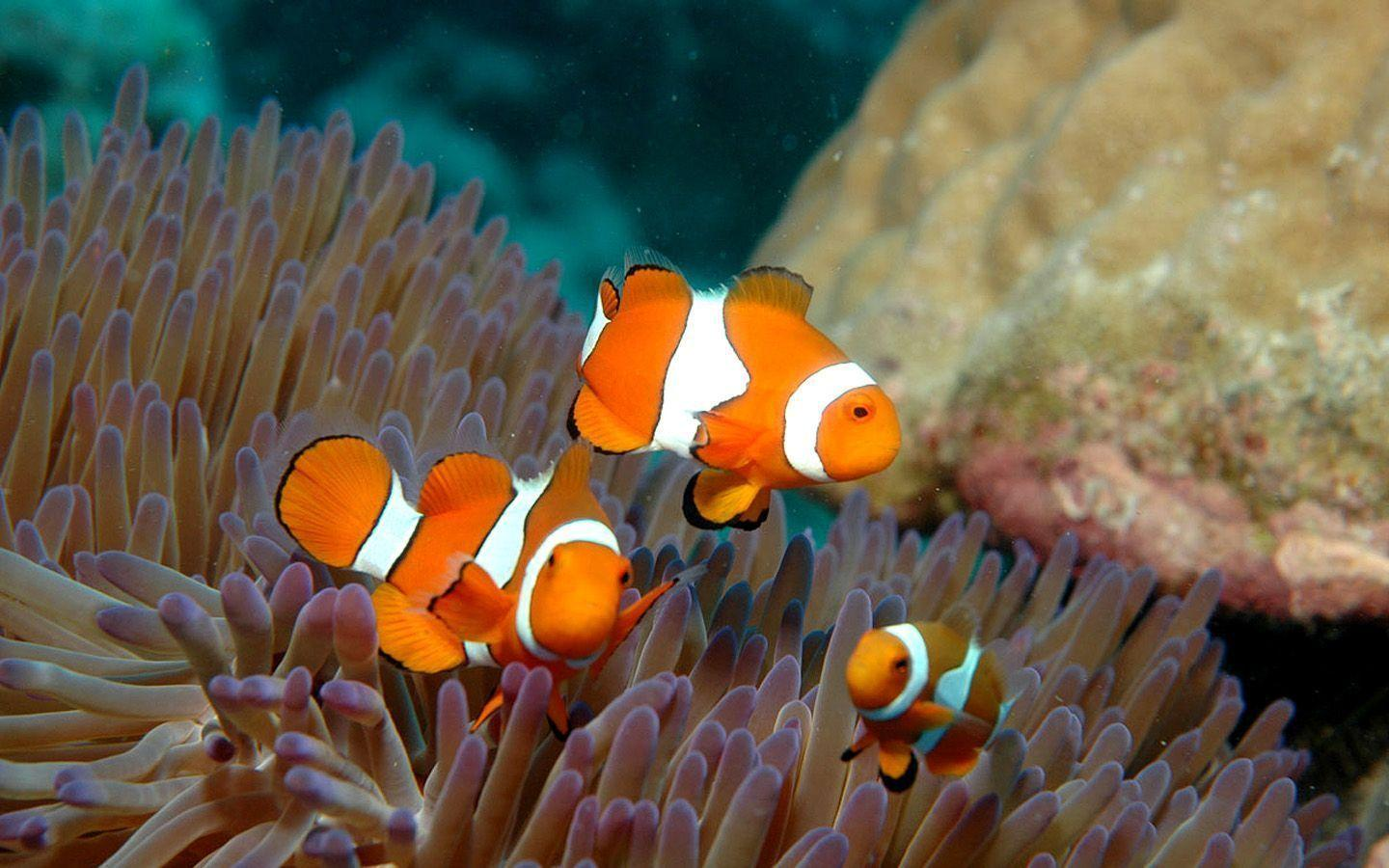 Three Clown Fish And Anemone Wallpapers 1440×900