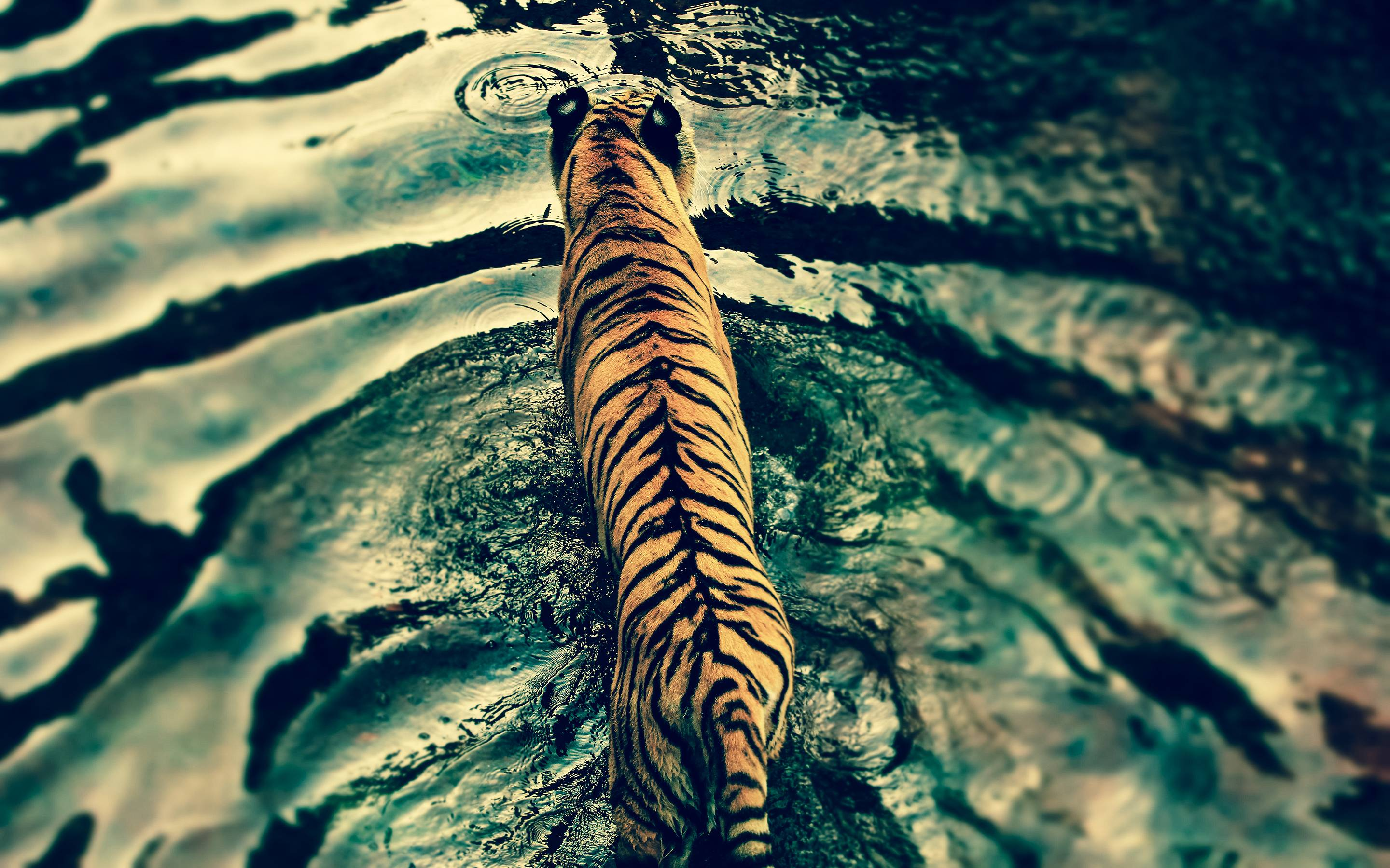 High Resolution Tiger Pictures Best Picture Tiger