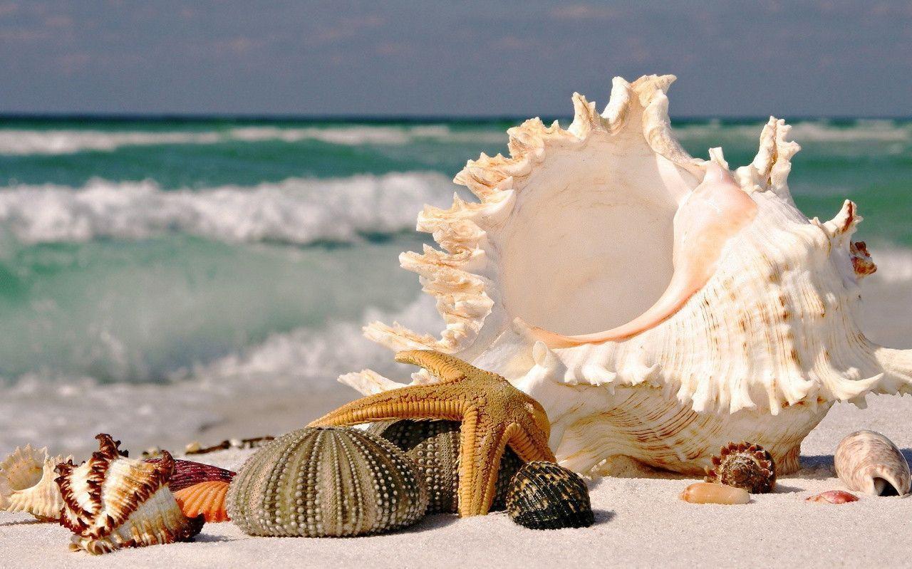 Seashells wallpaper 24 - 1280x800 Beach Seashells Wallpaper