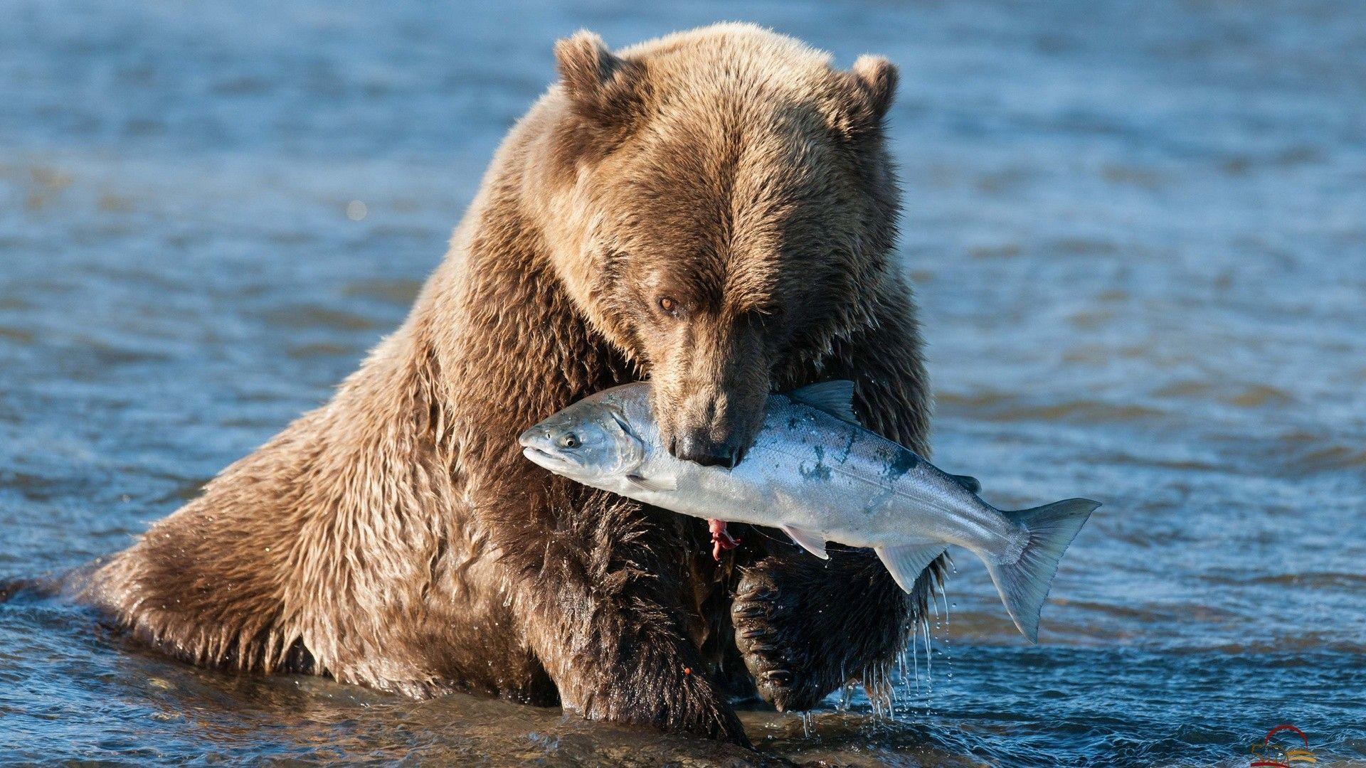 Bear Grizzly Bear Fish wallpaper   1920x1080   120920   WallpaperUP