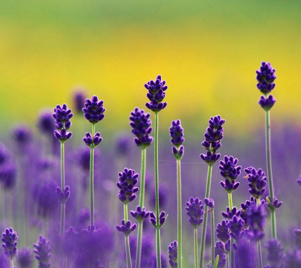 Lavender Flower Wallpapers - Wallpaper Cave