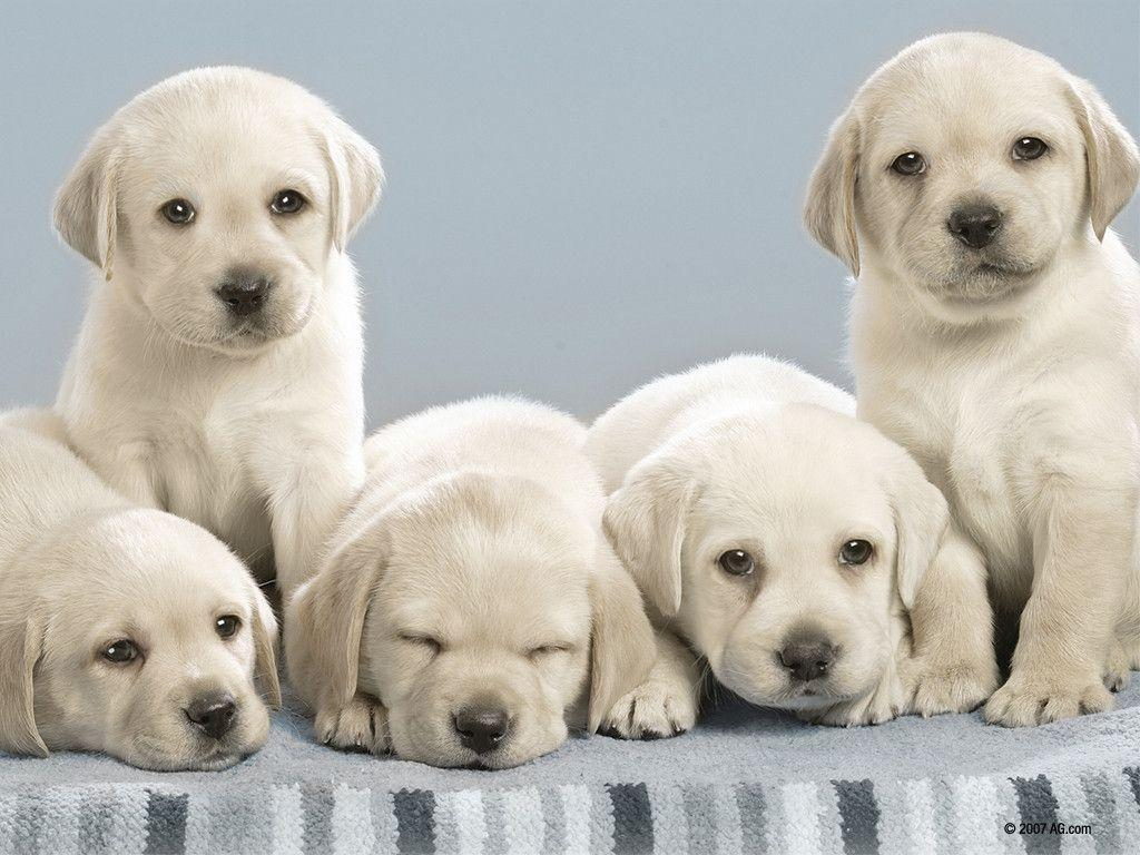 yellow lab puppy wallpaper - photo #9
