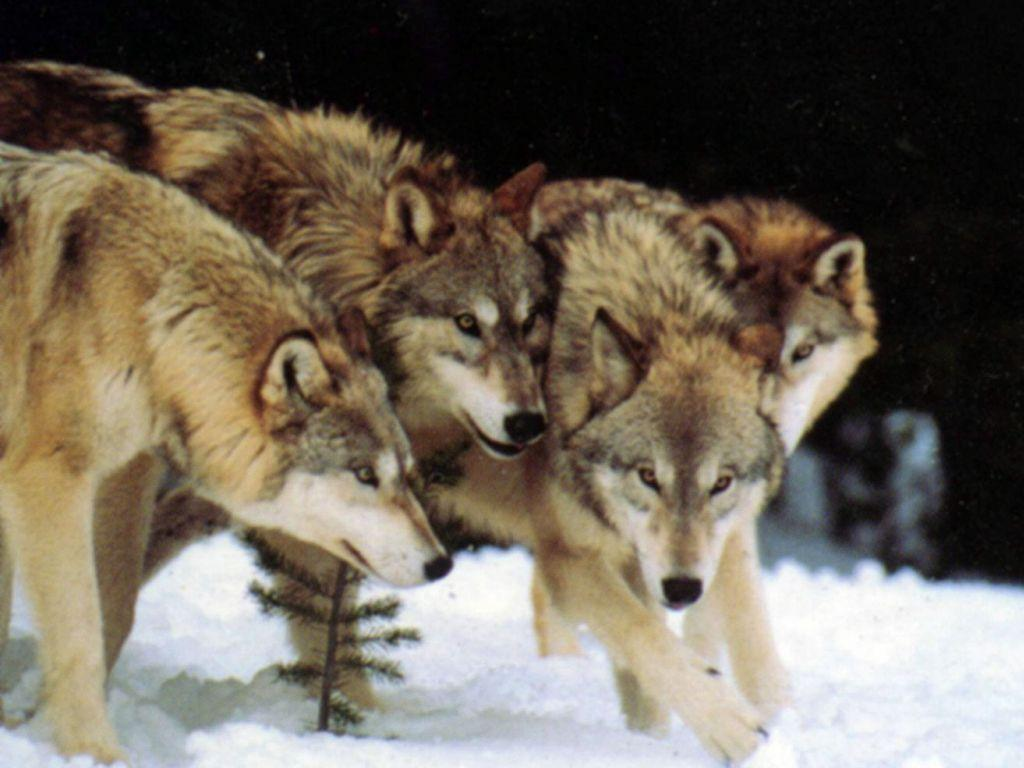 Wolf Pack Wallpapers - Wallpaper Cave - photo#21