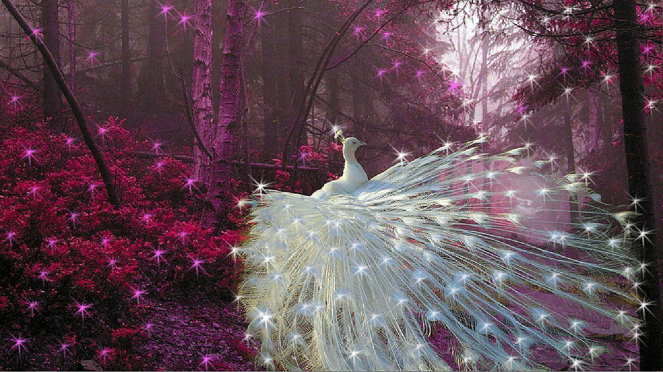 white peacock wallpapers wallpaper cave