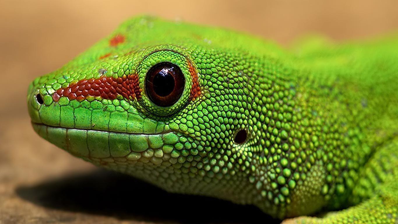 Desktop Wallpapers · Gallery · HD Notebook · Green iguana 1366x768