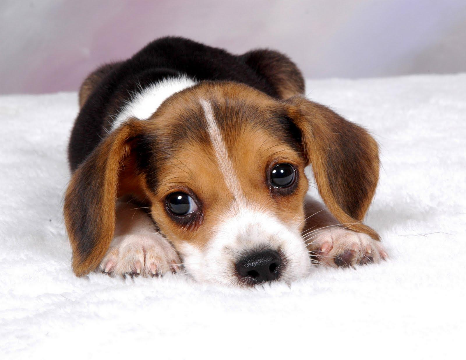 Beagle wallpapers wallpaper cave wallpapers for beagle puppy wallpaper voltagebd Images
