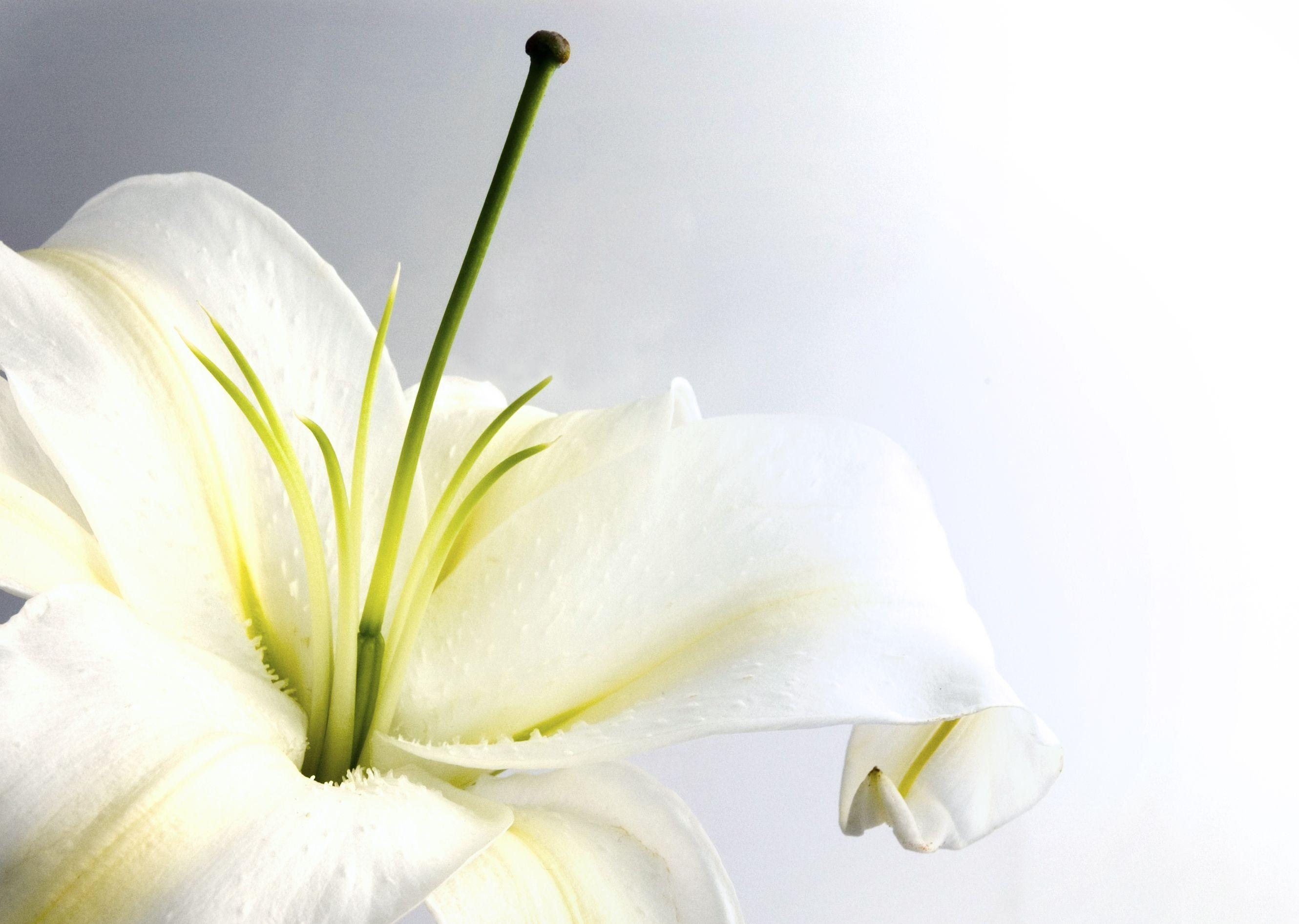Lily wallpapers wallpaper cave flowers for white lily flower wallpaper izmirmasajfo