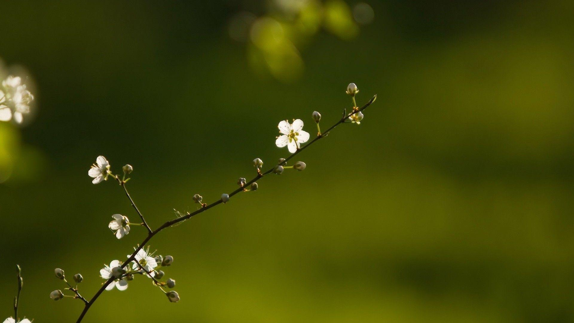 Beautiful Branch Of Flower tree hd wallpaper | HD Wallpapers ...