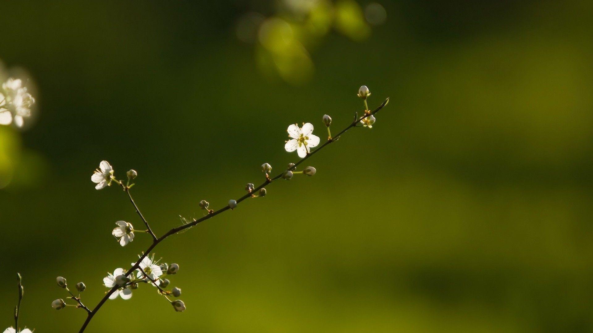 Beautiful Branch Of Flower tree hd wallpaper | HD Wallpapers ...