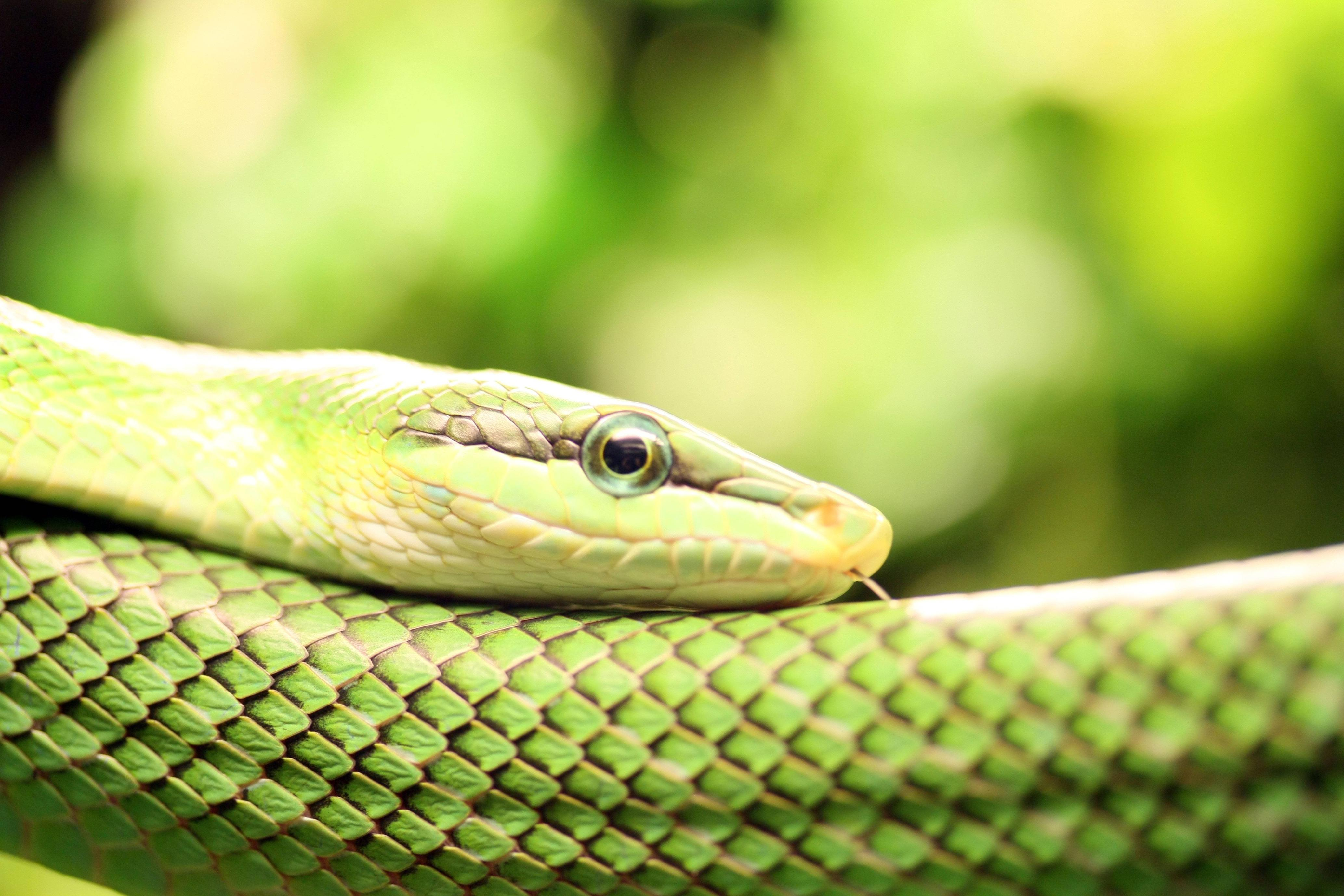 2 Smooth Green Snake Wallpapers