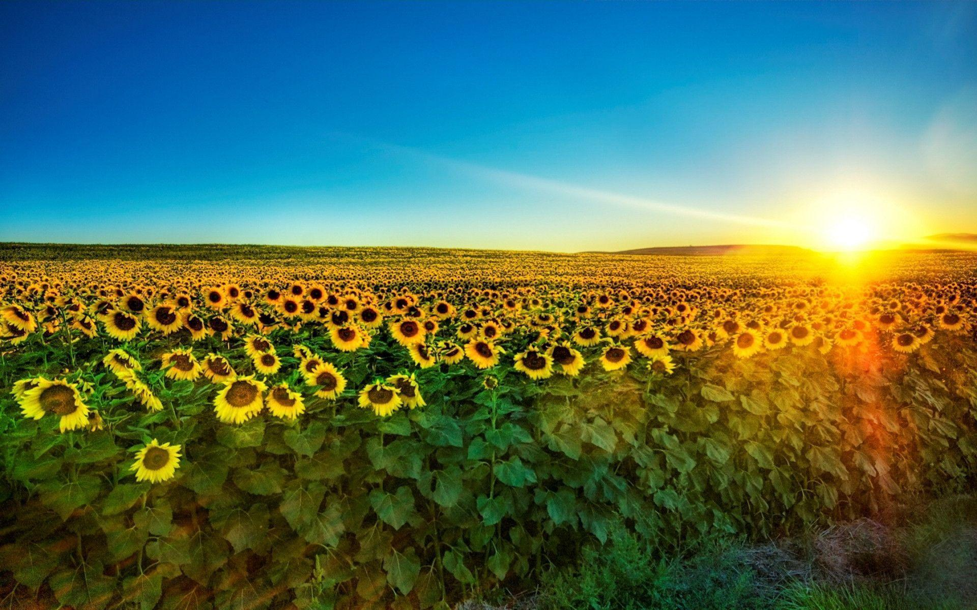 Sunflower Desktop Wallpapers Free Wallpaper Cave