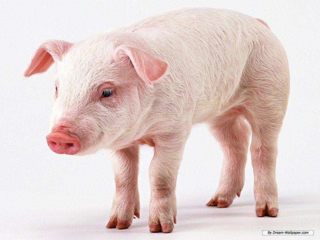 Pig background wallpaper - Animal Backgrounds