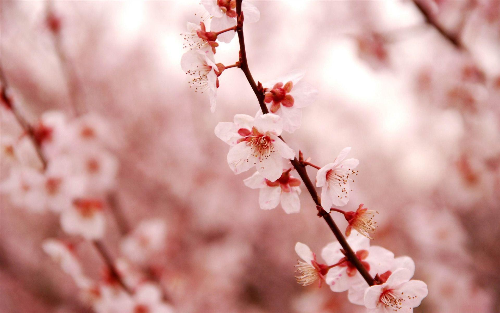 Cherry blossom desktop wallpapers wallpaper cave Cherry blossom pictures