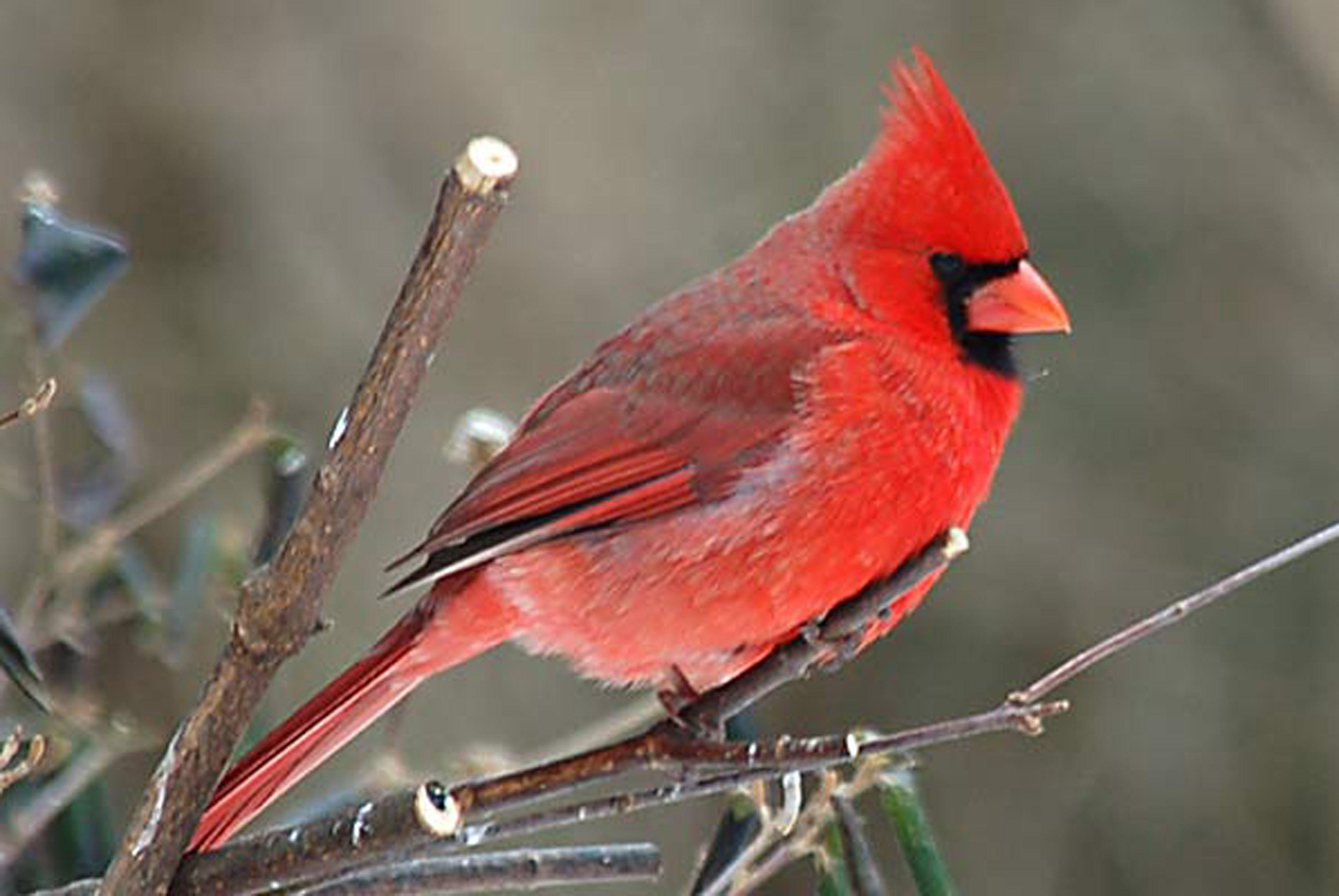 Cardinal Bird Wallpapers - Wallpaper Cave