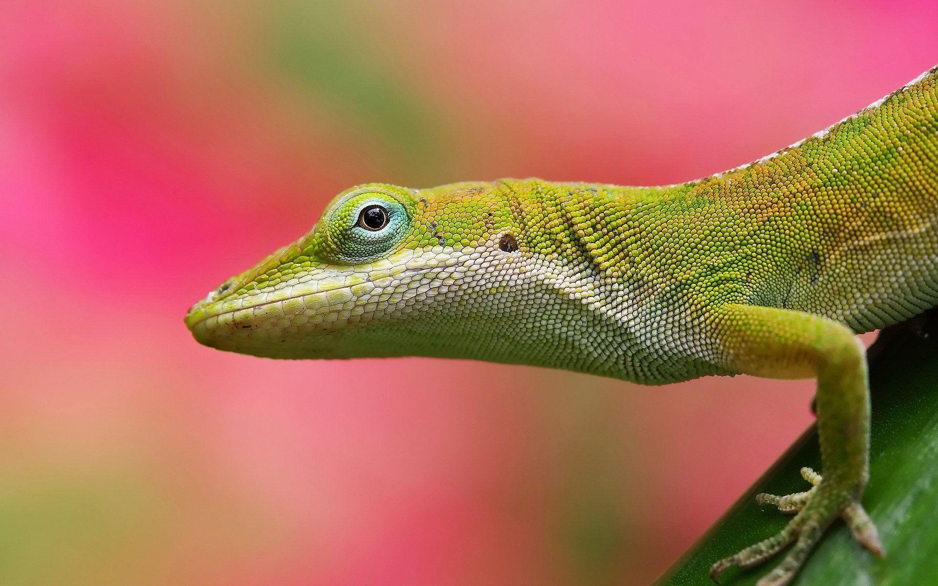 Colorful Lizard Pink Background | Paravu.com | HD Wallpaper and ...