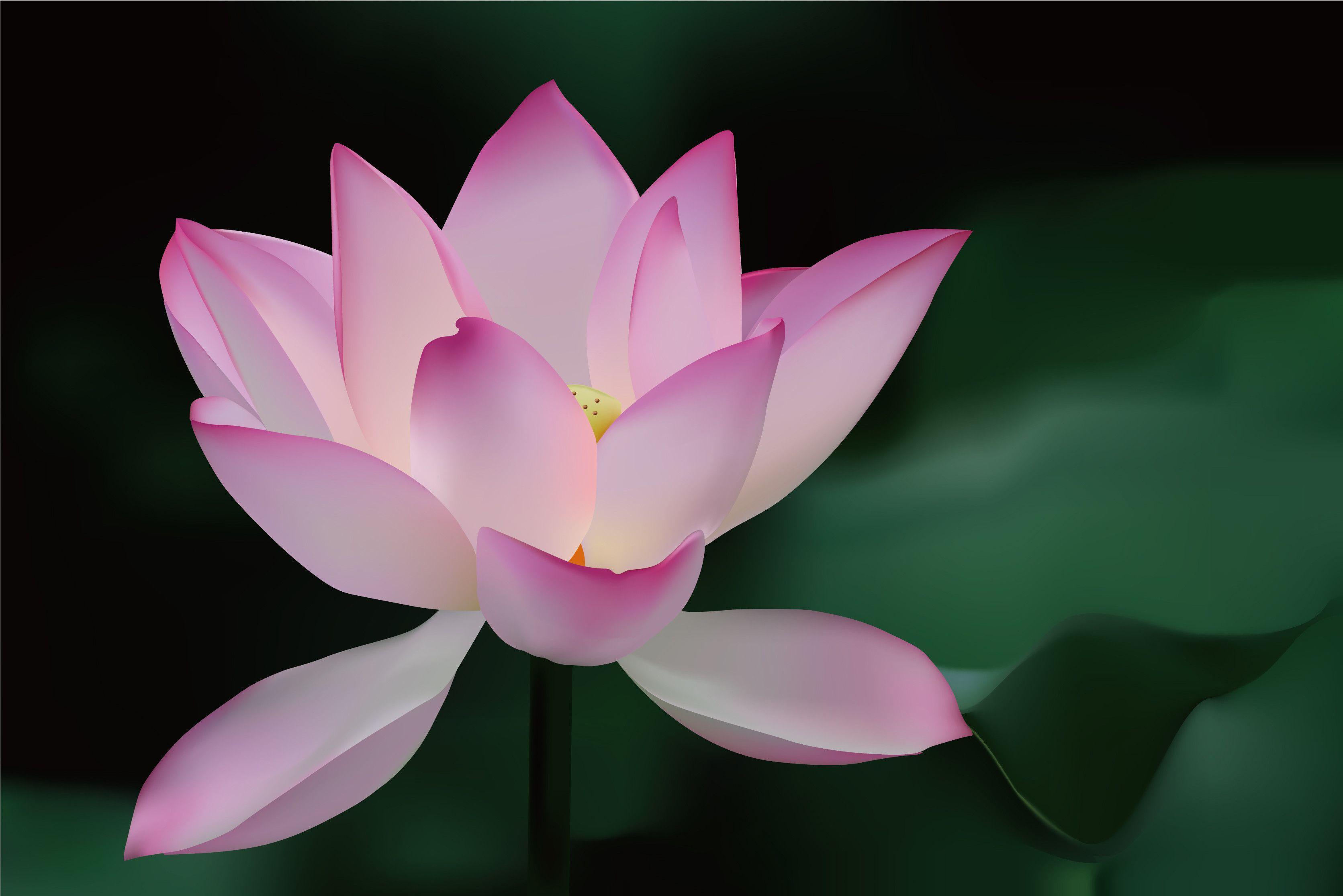 Lotus Flower Backgrounds Wallpaper Cave
