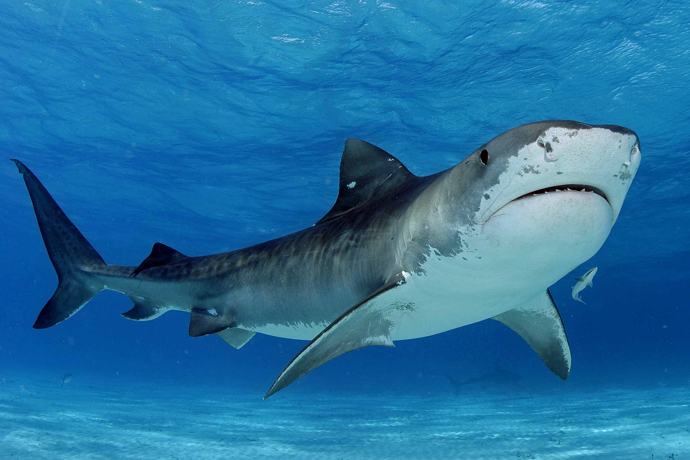tiger shark wallpapers wallpaper cave