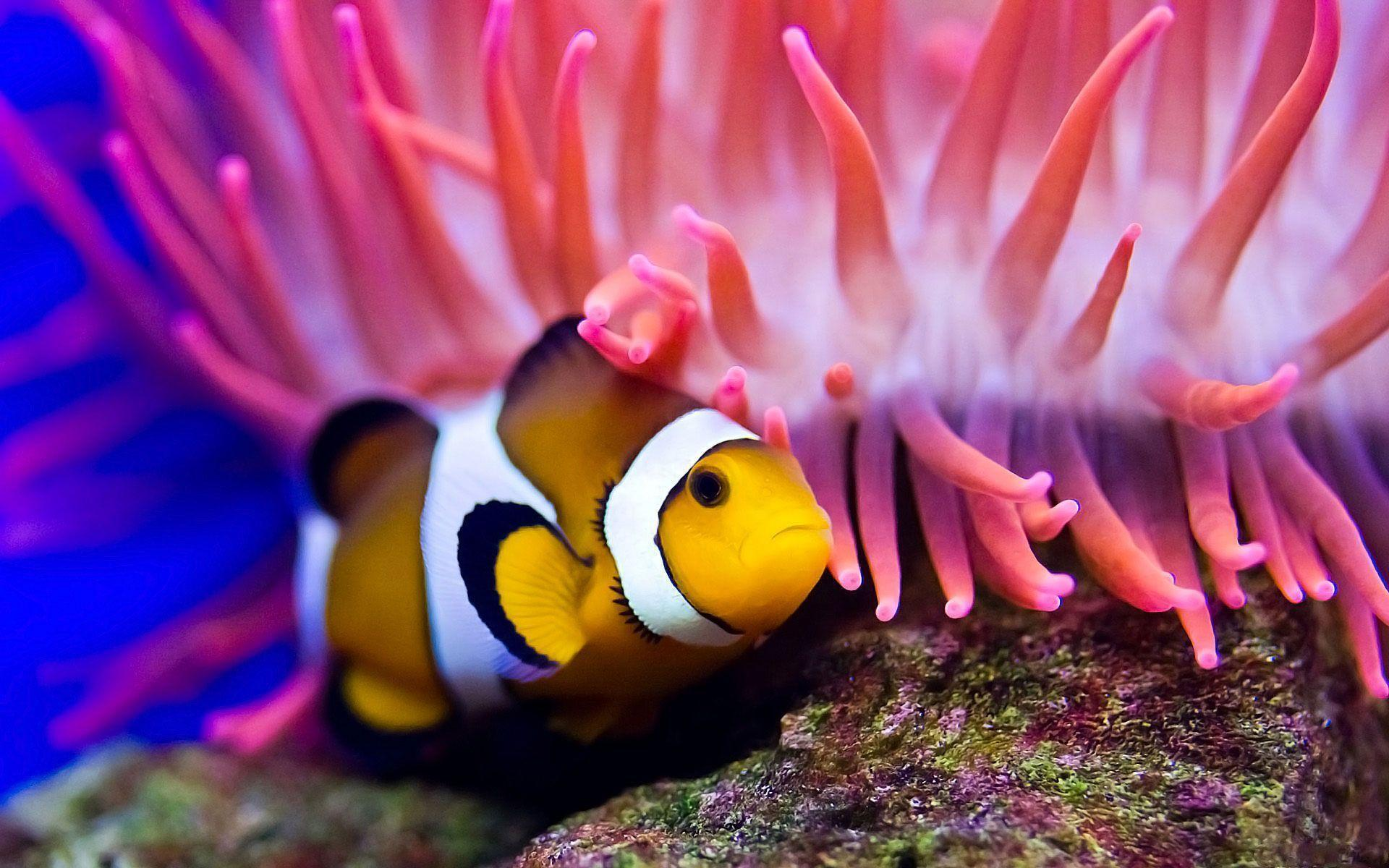 Best Clown Fish Wallpapers Android Wallpapers