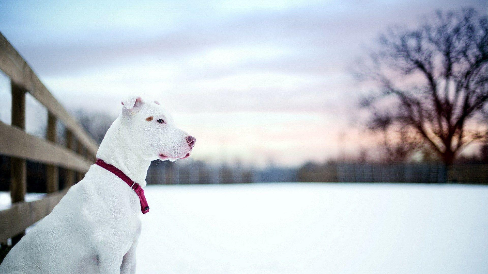 Pit Bull Dog Friend Winter Snow Fence HD Wallpaper - ZoomWalls