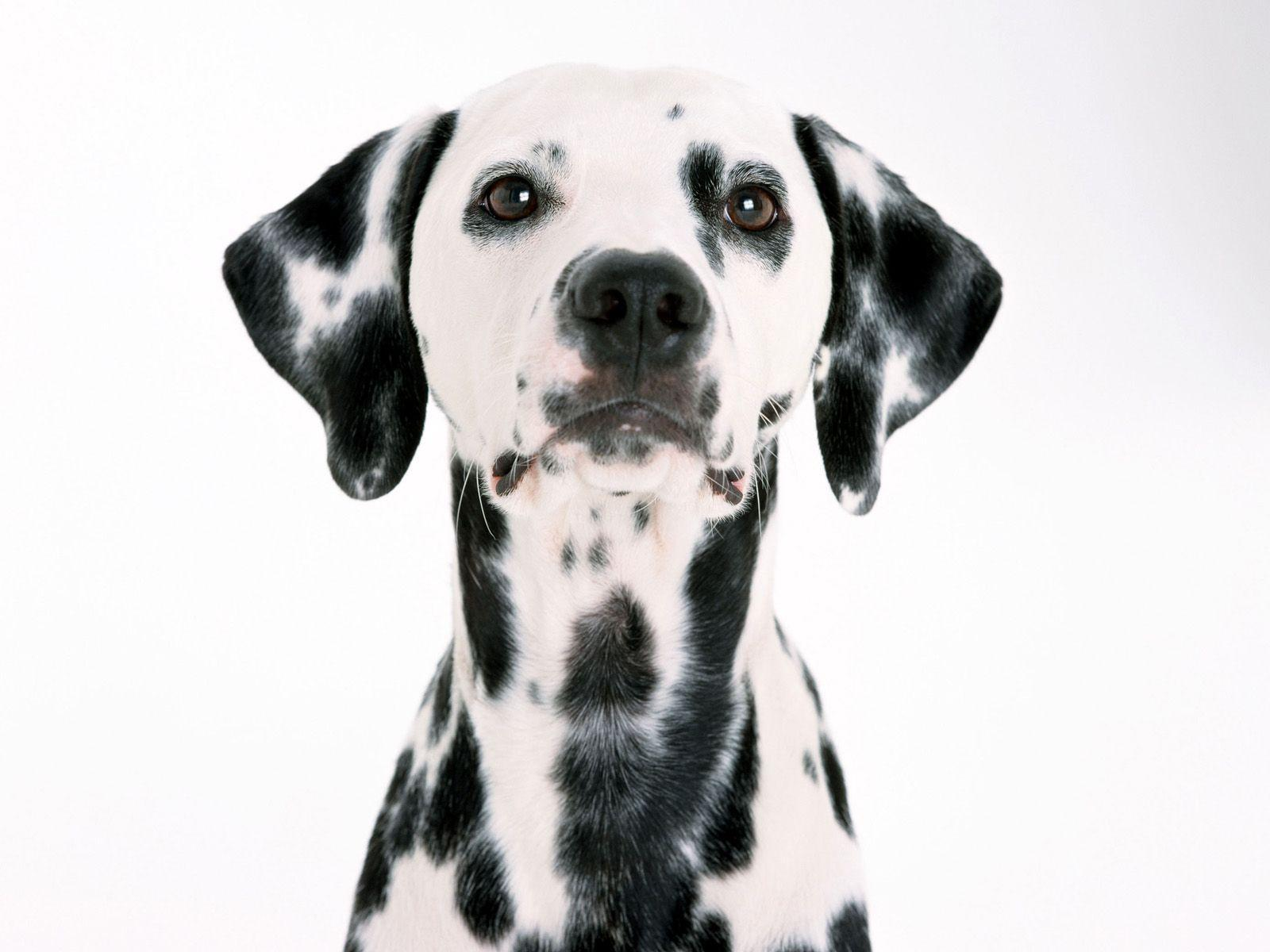 Dalmatian Wallpapers - Wallpaper Cave