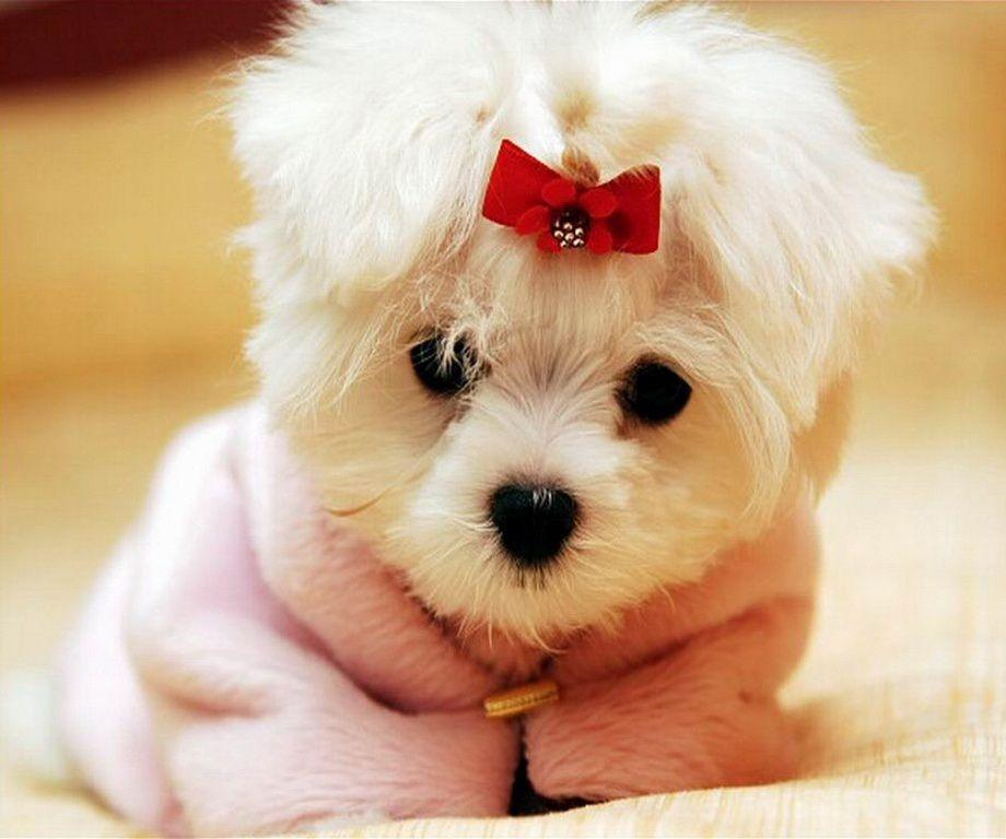 Free Download Darling Puppy Wearing A Pink Wallpapers For Laptop