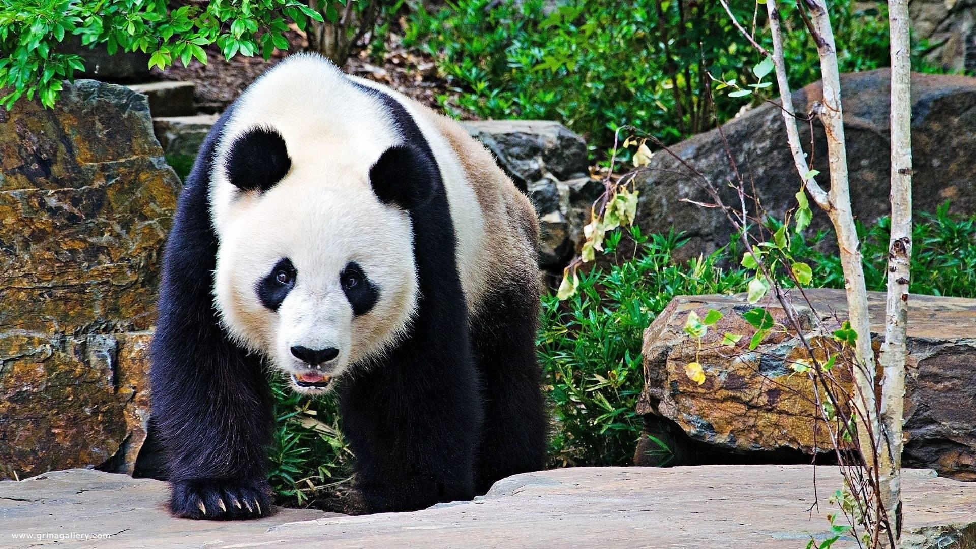 Panda bear wallpaper Wide or HD | Animals Wallpapers